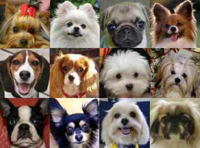 popular-small-dog-breeds