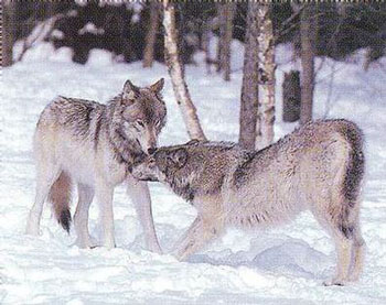Wolves displaying classic dominant/subordinate postures.