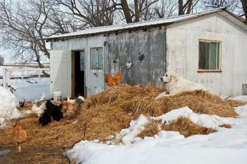Ceaser, adult Great Pyrenees, watches over chickens.