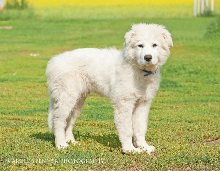 Bolt, a Kuvasz/Great Pyrenees as a young pup