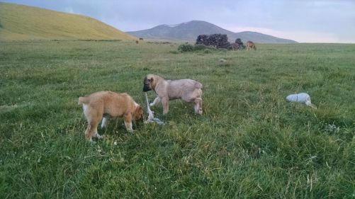 Two Armenian Gampr pups share the proceeds of a recent lamb slaughter by their shepherd. Photo credit: Rohana Mayer 2015
