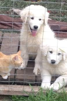 LGD pups with cat. PC: JJ Taylor